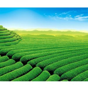 INFRARED HEATER-PICTURE: TEA PLANTATION...
