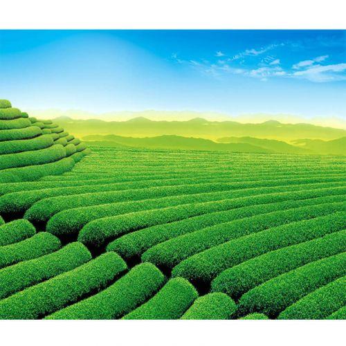TOPNÉ OBRAZY (INFRAPANELY) - ČAJOVÉ PLANTÁŽE